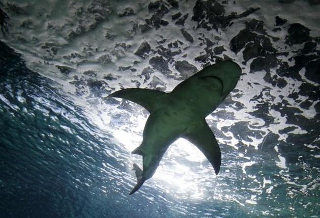 Reuzenhaai gesignaleerd voor de kust van De Panne
