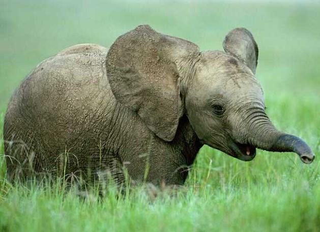 Primeur: olifant zwanger van wild exemplaar