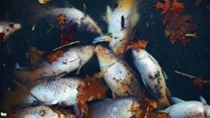 Honderden vissen sterven door vervuild Scheldewater