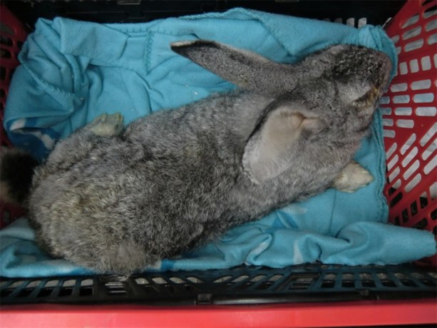 Verwaarloosd konijn aangetroffen in Mulken
