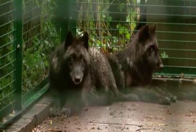Natuurhulpcentrum vangt twee wolven op