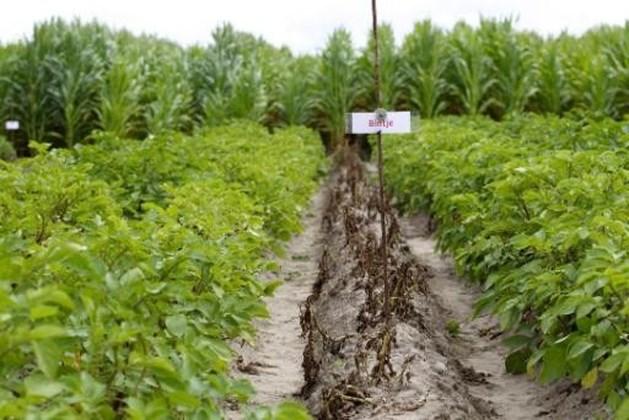 BASF trekt vergunningsaanvraag voor ggo-aardappelen in