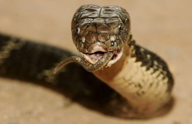 Zeelandse vindt cobra van buur in wasmachine