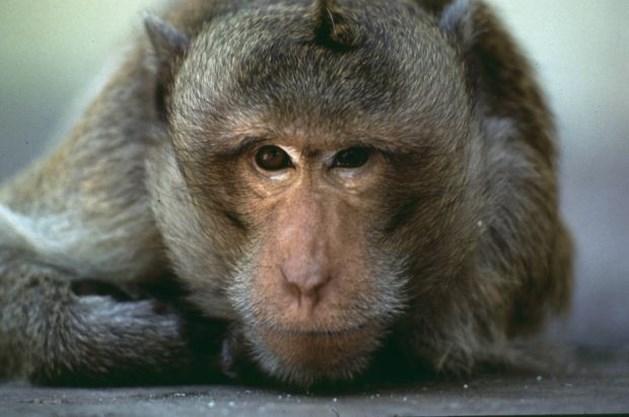 Kadavers van gegrilde aapjes gevonden in Koekelberg