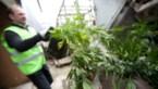 Twintiger krijgt twee jaar cel door cannabisplantage