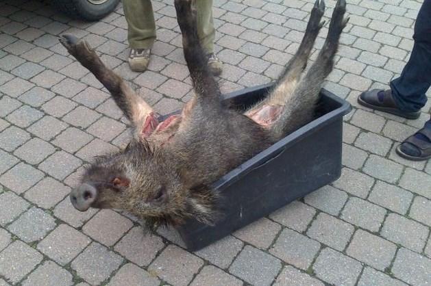 Jagers schieten everzwijn in Rotem