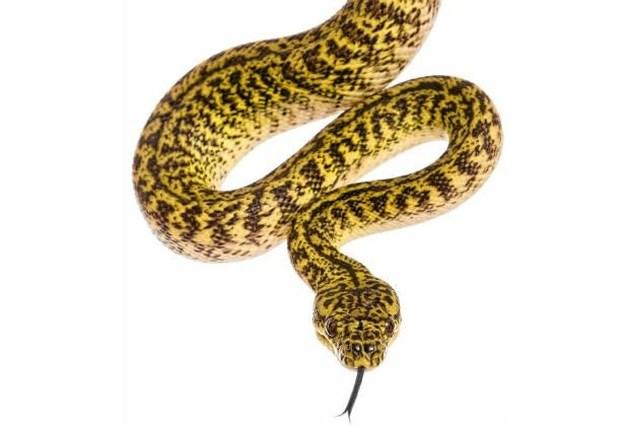 Pulle in de ban van ontsnapte python