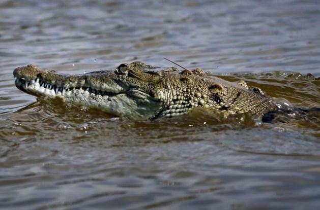 Nieuw-Zeelandse kajakker twee weken gegijzeld door krokodil
