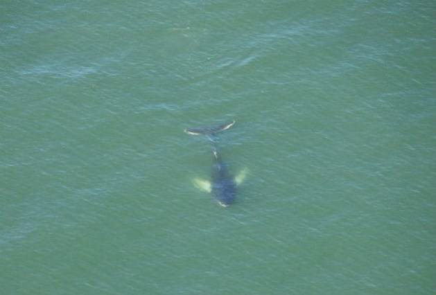 Uitgehongerde bultrug zwemt voor onze kust