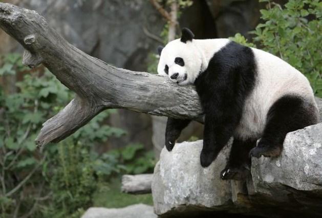 Chinese premier bevestigt dat panda's naar Pairi Daiza gaan