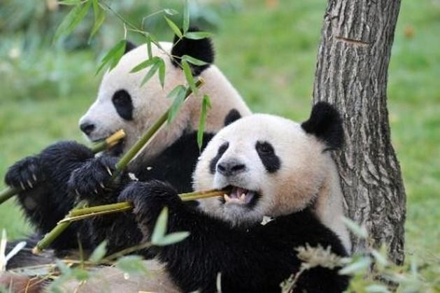 Panda's zetten aandeel dierenpark Pairi Daiza op hoogste peil ooit