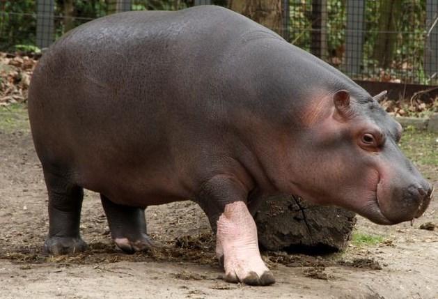 Nijlpaard doodt 22 mensen in 2 maanden tijd in Congo