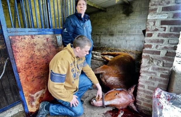 paardenbeul slaat toe in zutendaal