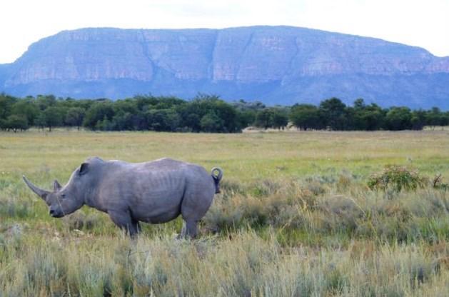 Bijna 1.000 neushoorns gedood door stropers in Zuid-Afrika in 2013