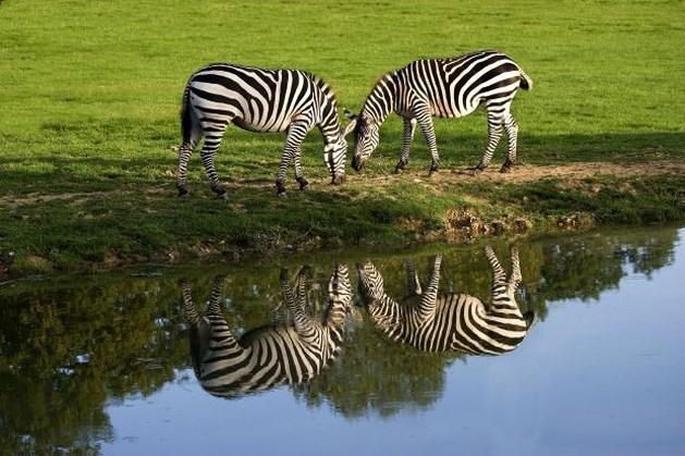 Waarom hebben zebra's strepen? Biologen weten het