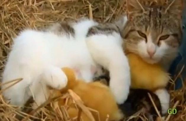 Verloren gewaande baby-eendjes teruggevonden bij bevallen kat (video)