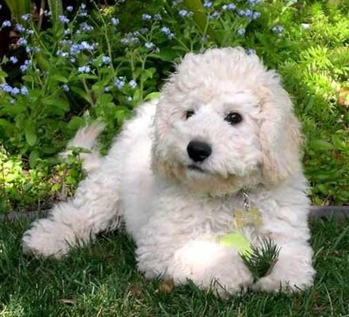 Nieuwste hondenrage: de labradoodle