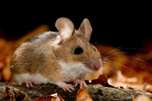 Opmerkelijk: muizen zijn enkel bang van mannen